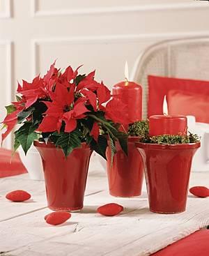 gigas g rtnerei und mehr jetzt aktuell der weihnachtsstern. Black Bedroom Furniture Sets. Home Design Ideas